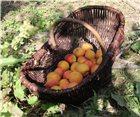 Panier à récolte vigneron en osier moyen modèle 45 cm