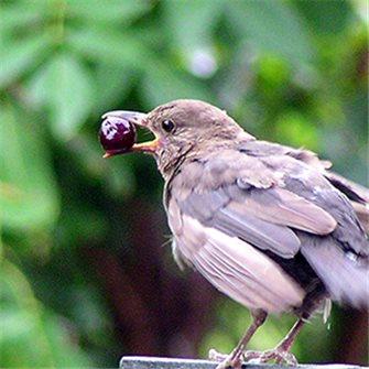 Protéger le jardin et les arbres fruitiers des oiseaux