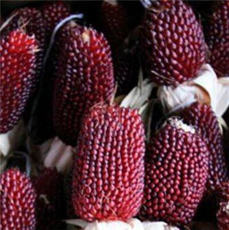 Graines de maïs fraise pop corn (Red Strawberry)